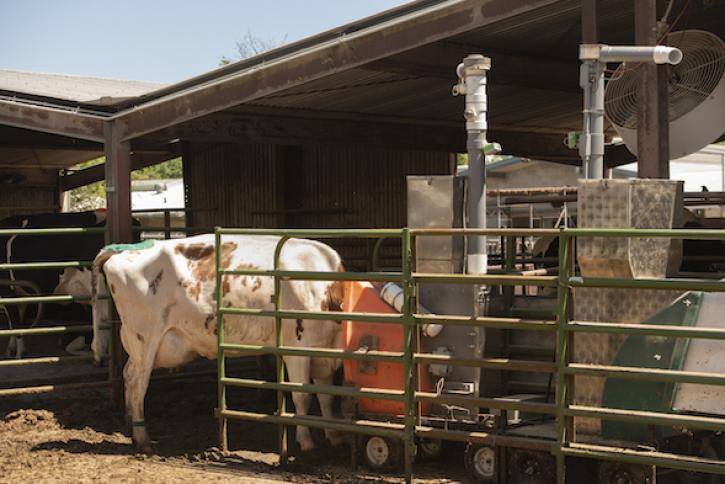 An open-air device measures the methane in the cows' breath as they eat a treat. (Gregory Urquiaga/UC Davis)