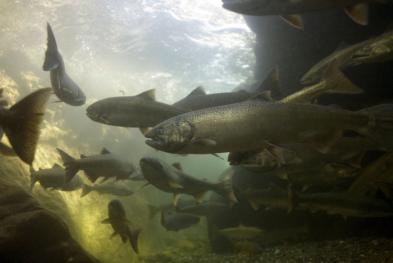 Spring chinookAdult spring chinook salmon in California's Salmon River. (Michael Bravo photo)