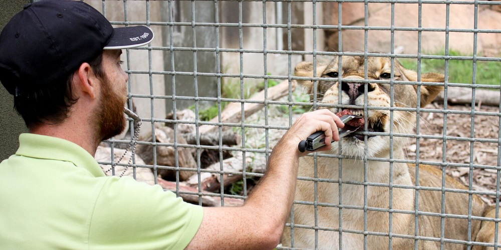 Nice kitty! Lion gets some one-on-one training from a zookeeper at the Santa Barbara Zoo.