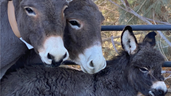 Radio-collaring wild donkeys in Death  Valley, the Mojave and in Fort Irwin and NASA areas.