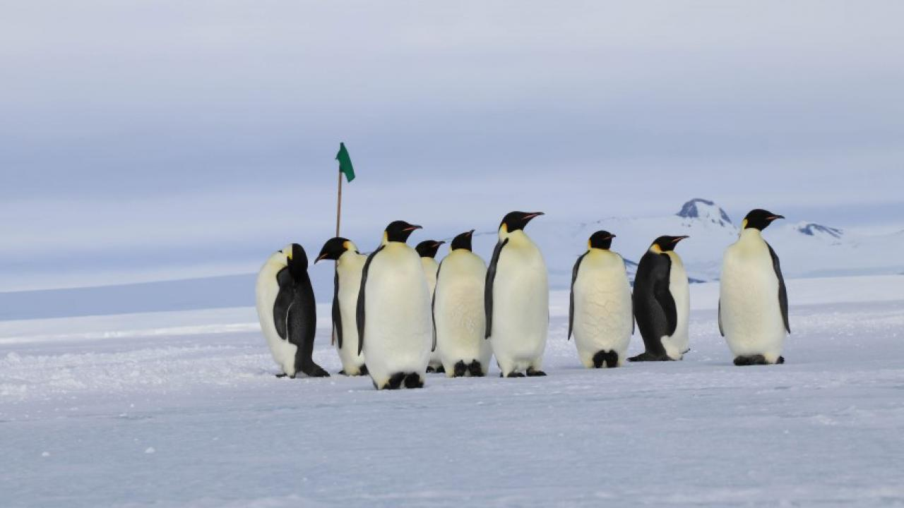 Emperor penguins on one of the sea ice roads Dr. Todgham's team uses to get to field sites in McMurdo Sound