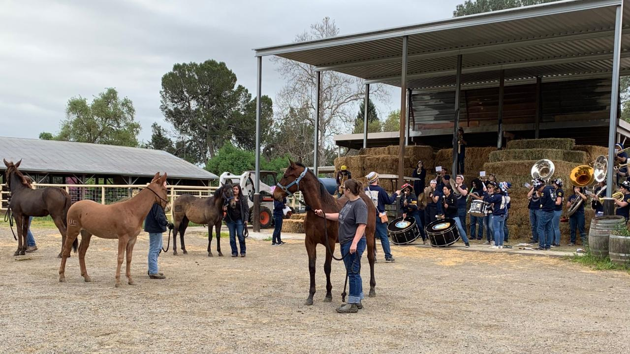The Cal Aggie Marching Band-uh! visited the Horse Barn to help get the yearlings ready for the sights and sounds of the 2019 Picnic Day Parade -