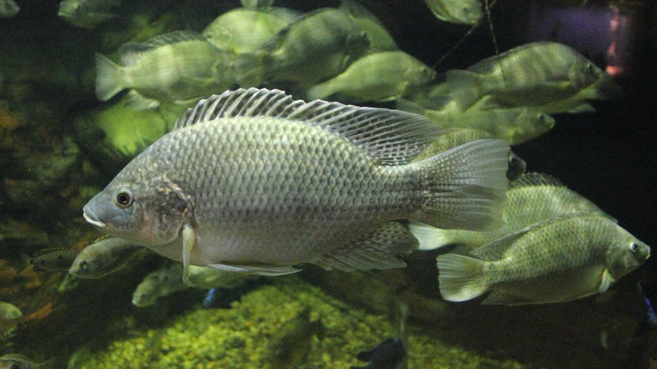 Studying Mozambique tilapia, the researchers found that short DNA segments enhance expression of genes that regulate the fish's internal body chemistry in response to salinity stress. (Photo by Greg Hume/Creative Commons)