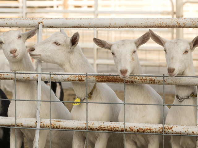 Goat Teaching & Research Facility | UC Davis Department of