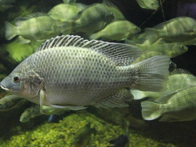 Tilapia, Photo by Greg Hume/Creative Commons