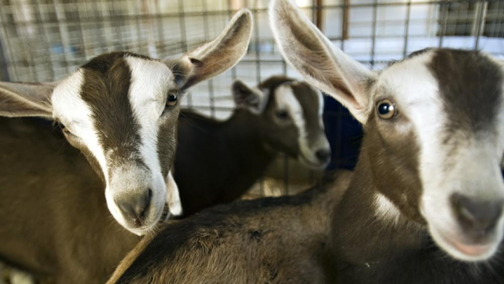 Goat Teaching & Research Facility | UC Davis Department of Animal
