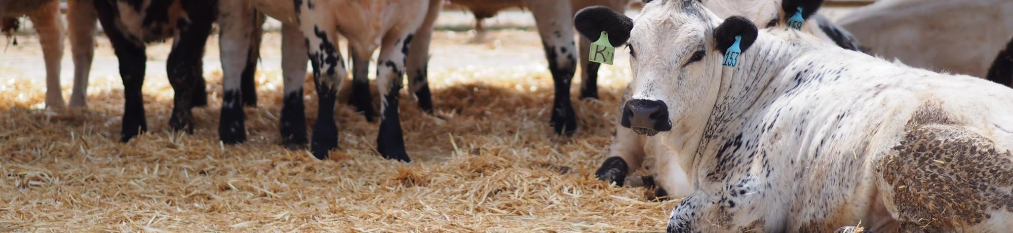 Beef Cattle Facilities | UC Davis Department of Animal Science